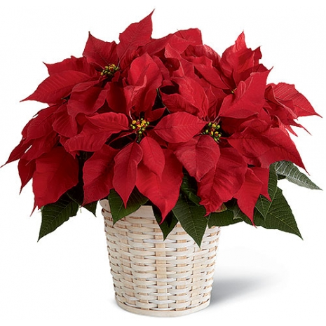 Red Poinsettia Planter Send to Philippines