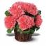 12 Pink Carnations in Basket